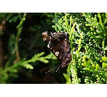 Red Admiral with Wings Folded (Butterfly) Photographic Print