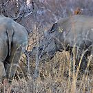 THE WHITE RHINOCEROS  COUPLE - Ceratotherium simum by Magaret Meintjes