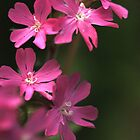 Red campion by Sue Purveur