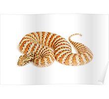 Common Death Adder (Acanthophis antarcticus) Poster