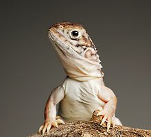 Central Netted Dragon (Ctenophorus nuchalis) by Shannon Benson