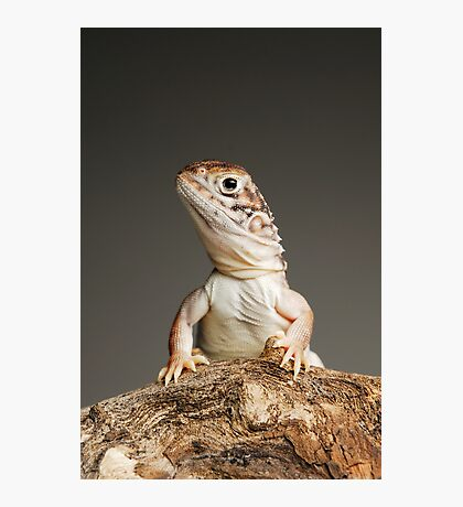 Central Netted Dragon (Ctenophorus nuchalis) Photographic Print