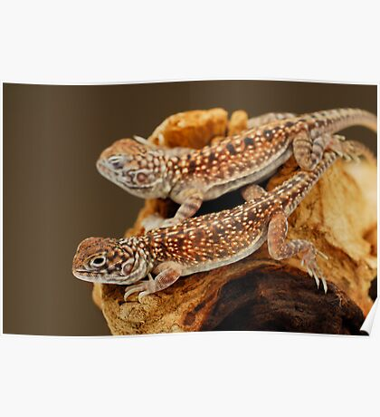 Central Netted Dragons (Ctenophorus nuchalis) Poster