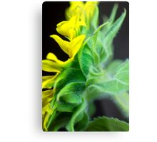 Sunflower, a different view. Metal Print