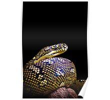 Diamond Python (Morelia spilota spilota) Poster