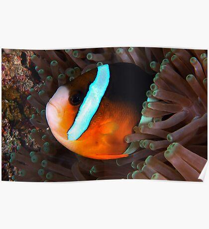 Clarkes Anemonefish Poster
