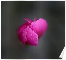 Dianthus Bud Poster