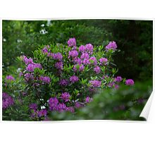 Rhododendrons  #1 Poster