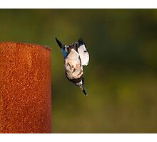 Kingfisher Dive Photographic Print