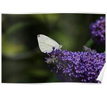 Small Cabbage White Butterfly Poster