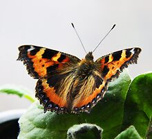 Small Tortoiseshell Butterfly by Richard Hanley www.scotland-postcards.com