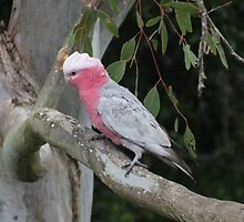 Galah in a Eucalypt tree by takver