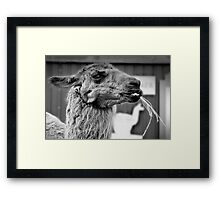 The Country Hick Lama Framed Print
