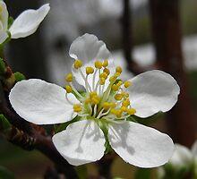 A Single Pear Blossum by Bellavista2