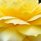 Jodi's Roses 2 by Ms.Serena Boedewig