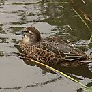 Female Teal by Robert Abraham