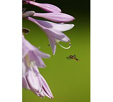 Syrphid Hoverfly Photographic Print