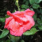 Single Rose Packed in Dew by GolemAura