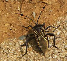 Giant Mesquite Bug by gcampbell