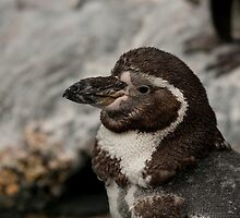 Penguin by Shawn McCrimmon
