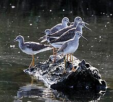Spot the Lesser Yellowlegs by Wolf Read