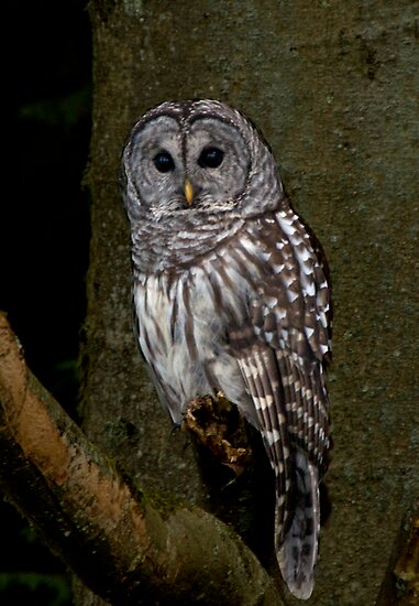 Barred Owl - Spirit Park, BC by David Galson