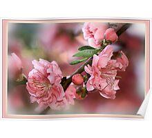 Pink Spring - ornamental cherry blossom Poster