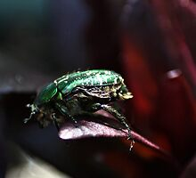 The rare rose chafer by missmoneypenny
