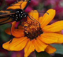Feeding Monarch by Adam Bykowski