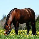 24.5.2015: Pony on Pasture by Petri Volanen