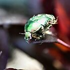 The rare rose chafer - image 2 by missmoneypenny
