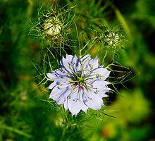 Blue Nigella Flower by jojobob