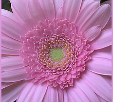 Full Frontal - Gerbera by picketty
