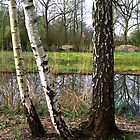 Birches look through by steppeland