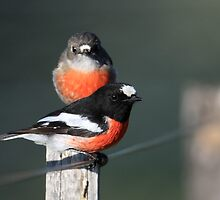 Scarlet Robins by David Jamrozik