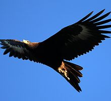 Wedge Tailed Eagle In Tasmania by David Jamrozik