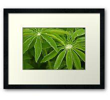 Lupin leaves Framed Print