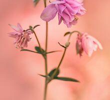 Pink columbine flowers by JBlaminsky