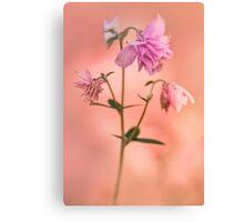 Pink columbine flowers Canvas Print
