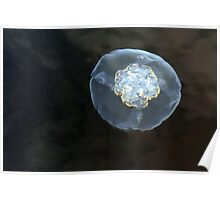 Pittwater jellyfish Poster