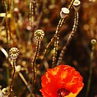 Normandy Poppy by WebVivant