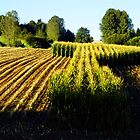 Maize crop harvest, Normandy by WebVivant