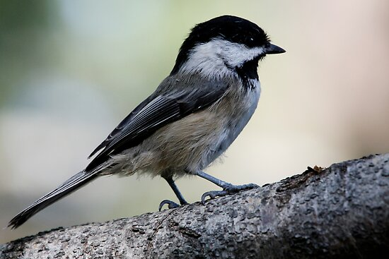 Black-Capped Chickadee Regal Pose by Wolf Read