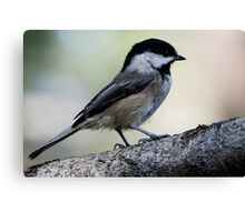 Black-Capped Chickadee Regal Pose Canvas Print