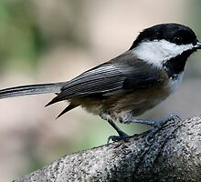 The Lovely Profile of a Black-Capped Chickadee by Wolf Read