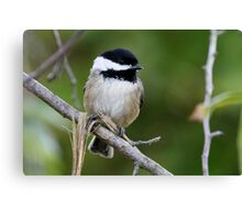 Chipper Black-Capped Chickadee Canvas Print