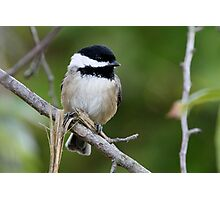Chipper Black-Capped Chickadee Photographic Print