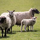 Gurning Sheep by JEZ22