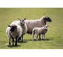 Gurning Sheep Photographic Print