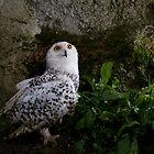 Snowy Owl, Nyctea scandiaca, Schnee-Eule,  by krasser